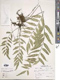 Image of Asplenium juglandifolium