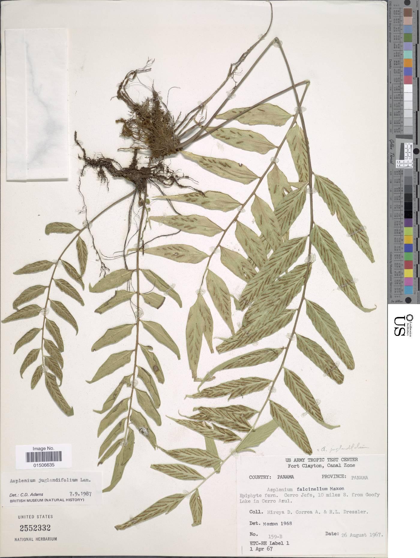 Asplenium juglandifolium image