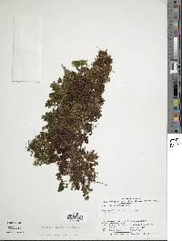Image of Hymenophyllum hirsutum