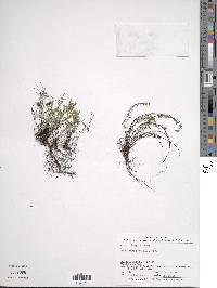 Asplenium formosum image