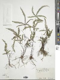 Adiantopsis radiata image