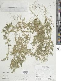 Selaginella horizontalis image