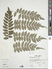 Marattia excavata image