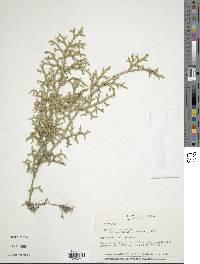 Lycopodiella cernua image