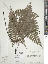 Image of Adiantum urophyllum