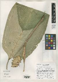 Image of Calathea silvicola