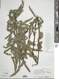Image of Pityrogramma trifoliata