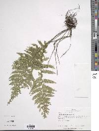 Image of Asplenium cristatum