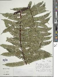 Alsophila cuspidata image