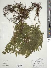 Image of Trichomanes ludovicinum
