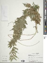 Selaginella exaltata image