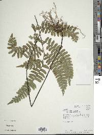 Image of Adiantum killipii