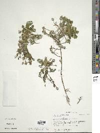 Ludwigia sedoides image