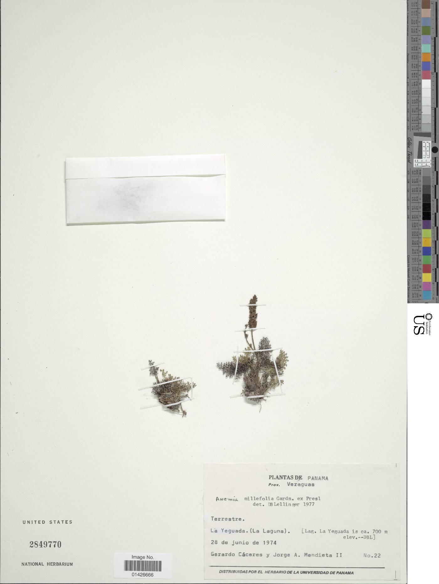 Anemia millefolia image
