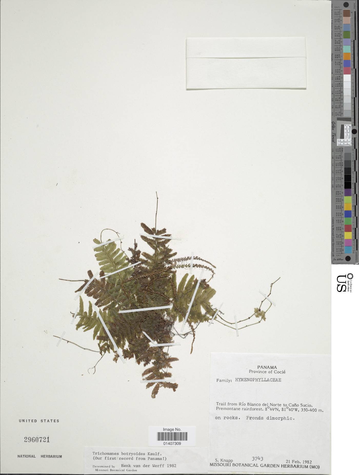 Trichomanes botryoides image