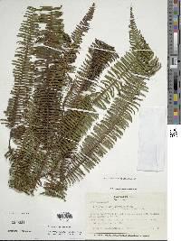 Sticherus compactus image