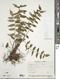 Hemionitis rufa image