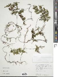 Image of Hymenophyllum consanguineum