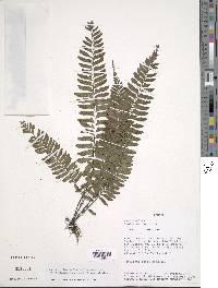 Asplenium laetum image