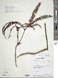 Image of Sticherus pallescens