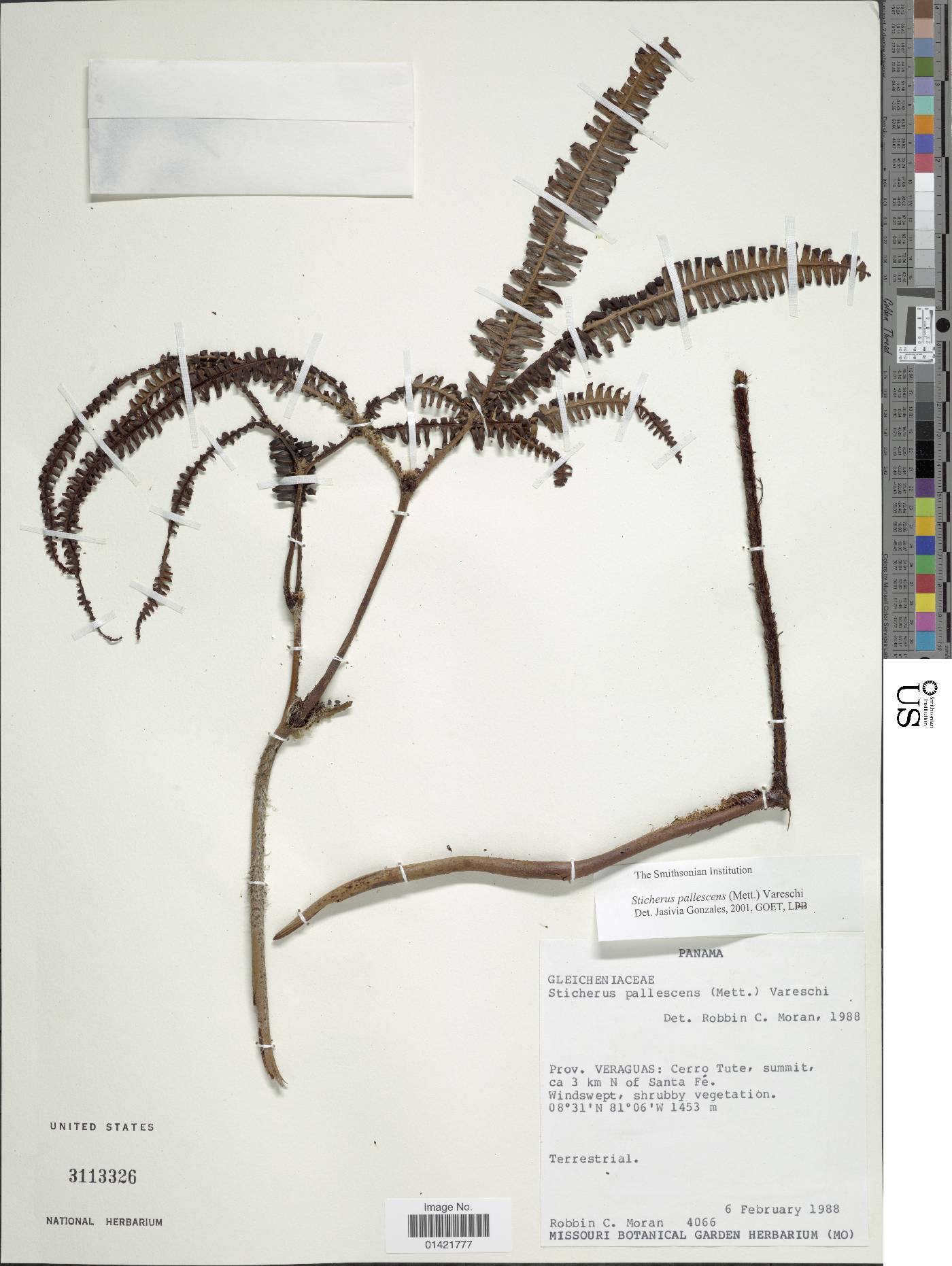 Sticherus pallescens image