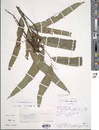 Asplenium tricholepis image