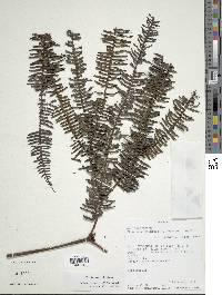 Image of Sticherus compactus