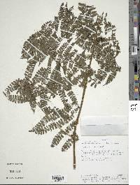 Image of Dennstaedtia dissecta