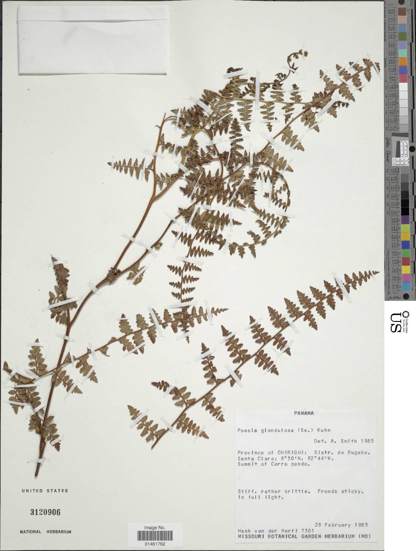 Paesia glandulosa image