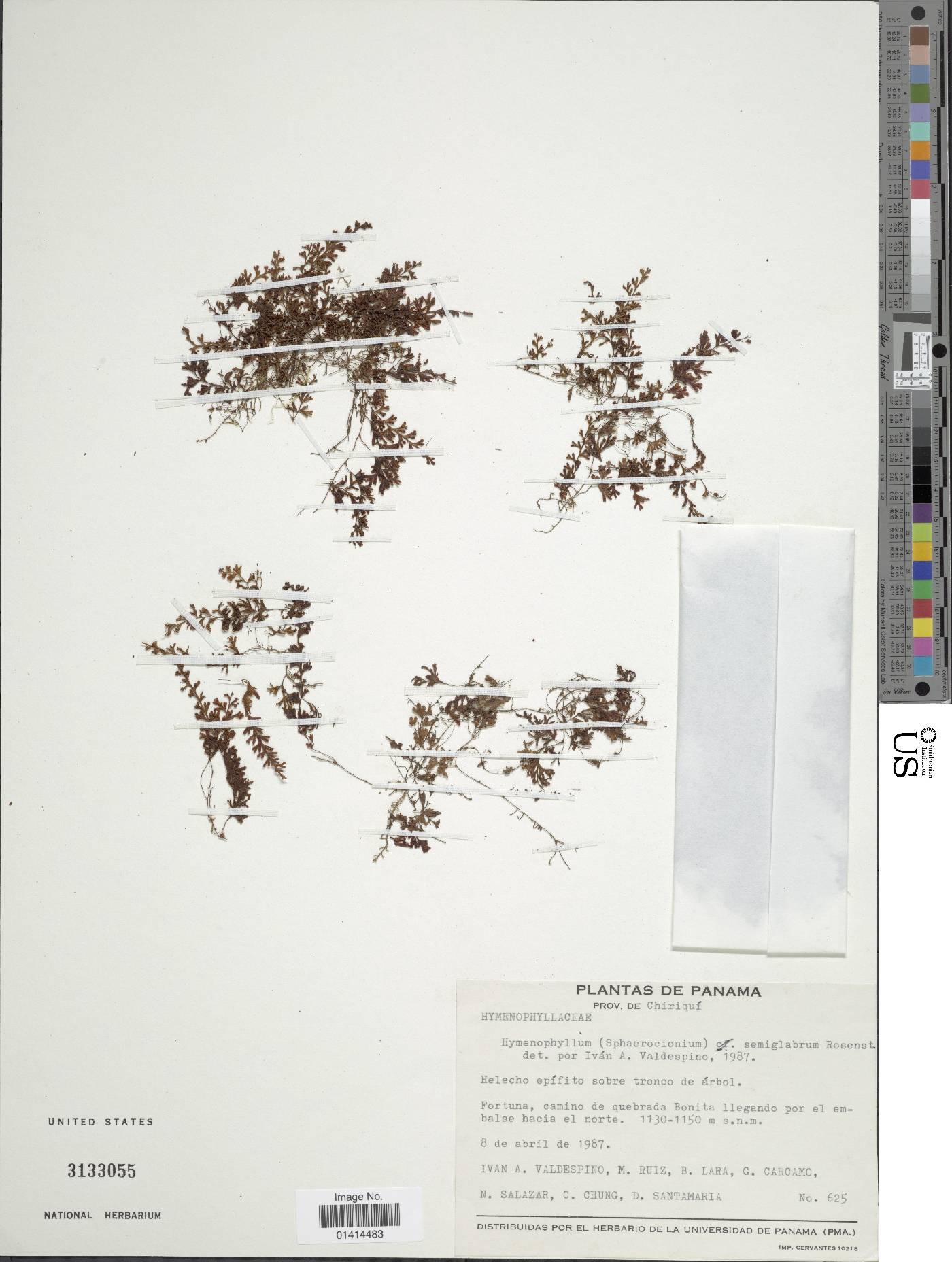 Hymenophyllum semiglabrum image