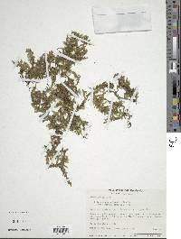 Image of Trichomanes anadromum
