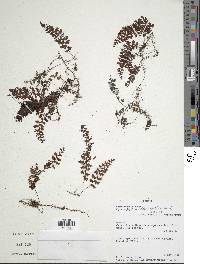 Hymenophyllum decurrens image