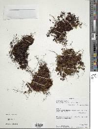 Image of Hymenophyllum siliquosum