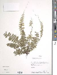 Asplenium maxonii image