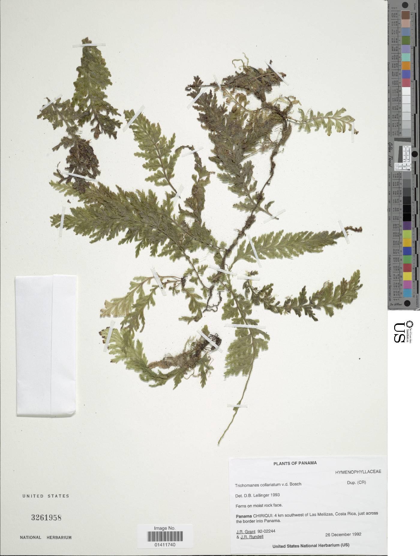 Vandenboschia collariata image