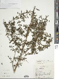 Fuchsia microphylla image