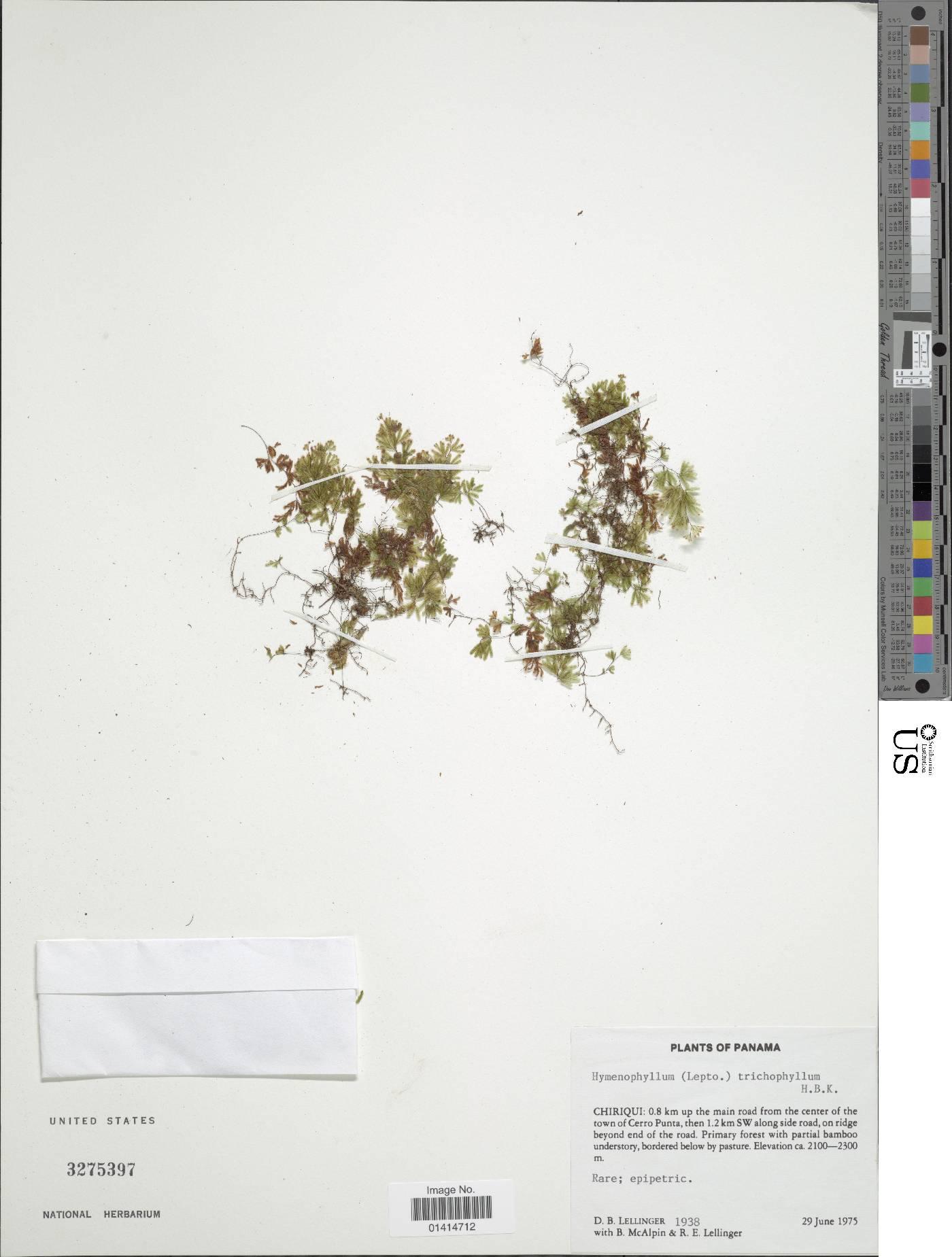 Hymenophyllum trichophyllum image