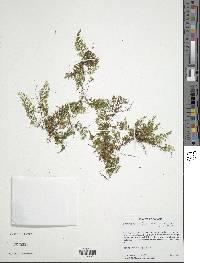 Image of Hymenophyllum tunbrigense