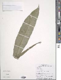 Asplenium serratum image