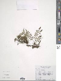 Asplenium auriculatum image