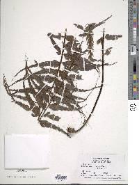 Asplenium serra image