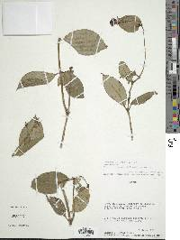 Fuchsia jimenezii image