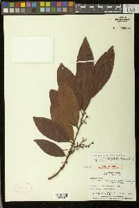 Heteropterys laurifolia image