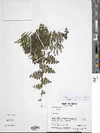 Image of Trichomanes ankersii