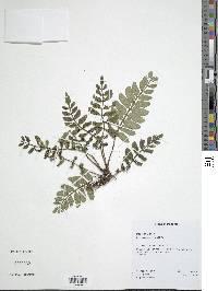 Danaea wendlandii image