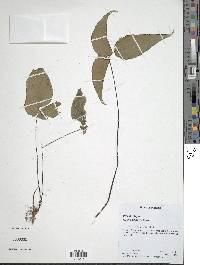 Adiantum wilsonii image