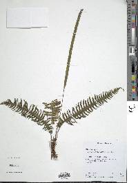 Trichomanes diversifrons image