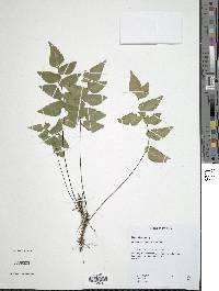 Adiantum petiolatum image