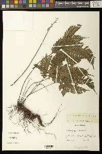 Image of Adiantum tetraphyllum