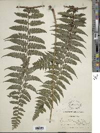 Dennstaedtia auriculata image